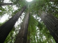 Beautiful Redwoods