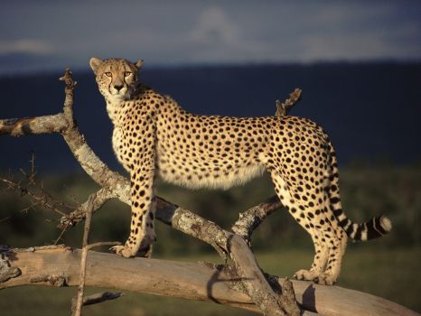 African wildlife - Cheetah