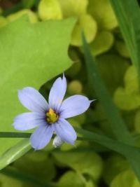 look close: blue-eyed grass