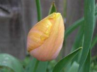 tulip solitaire