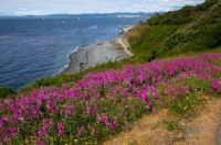 Wild sweet peas in bloom on the Victoria shore