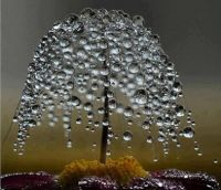 Miniature dew drop tree