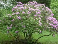 Ohio Rhododendron