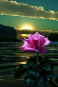 Růže na dobrou noc