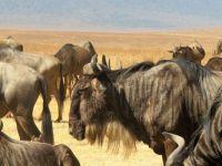 wildebeests 2
