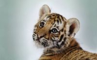 Little Tiger kitty :-)........ World Animal's Day!