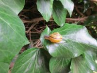 Snail and Ivy