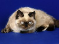 Persian Himalayan Cat