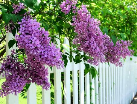 Lilacs and Fence