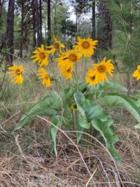 "Arrowhead Balsamroot - Balsamorhiza Sagittarius.     ""Oregon sunflower"""
