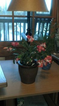 For Linda - Christmas Plant in Bloom