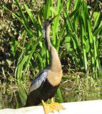 Anhinga, Rainbow River Florida