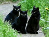 Three Pretty Black Cats!