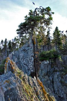 Tree Growing from Rock, Spread Eagle, Trinity Bay, NL