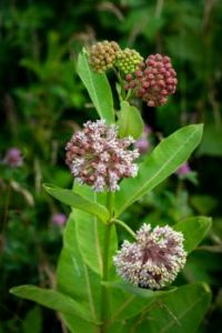 Common Milkweed (Asclepias syriaca) along the Blue Ridge Parkway in Virginia, July 3, 2021