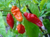 Ghost Peppers (Capsicum chinense × Capsicum frutescens)