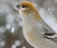 Pine Grosbeak in today's snowfall