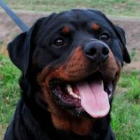 Rottweiler Male-Bully-(1)
