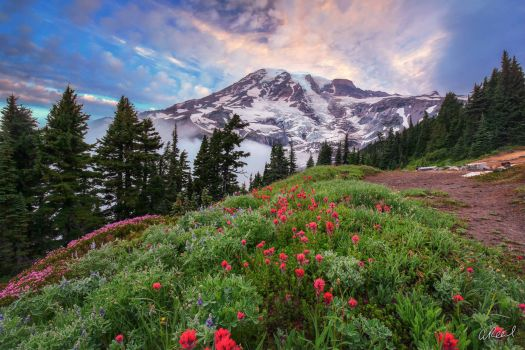 Wildflowers around trail with view of Mount Rainier in Washington