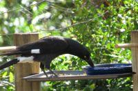 Pied Currawong on feeder