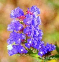 Wildflower WA 4
