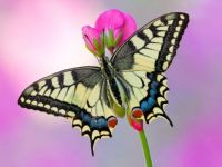 Insects ~Butterfly on a Pink Flower