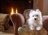 Cozy Westie