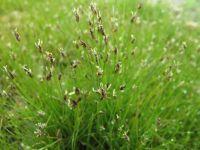 Eleocharis acicularis – a small wetland plant