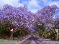 Jacaranda trees- Argentina