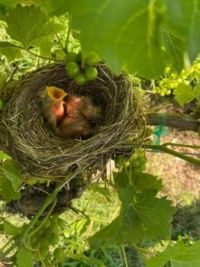 Hungry Birds in the Vineyard by Charles Pullen
