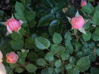 Minature Rose Bush
