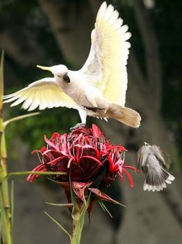 Noisy Miner attacking a Cockatoo on a Gymea Lily - Sydney, Australia