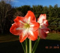 amaryllis_small