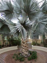 Elephant Palm, Adelaide Botanic Gardens