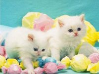 Theme - young kittens