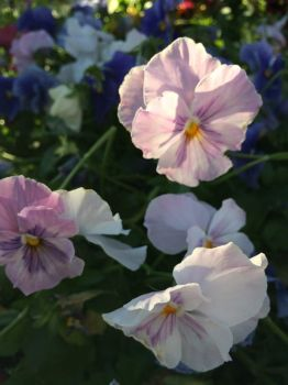 lavender pansies--more challenging