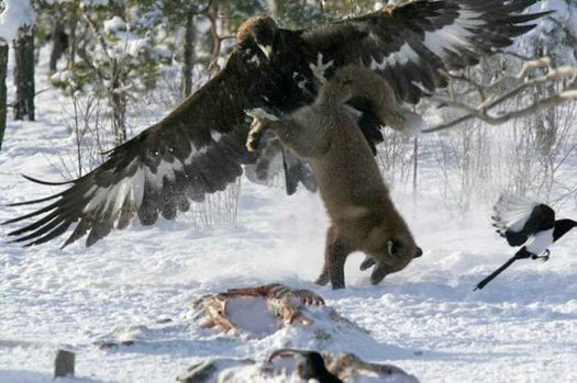 Eagle vs. Fox
