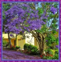 Jacaranda Tree in full bloom.