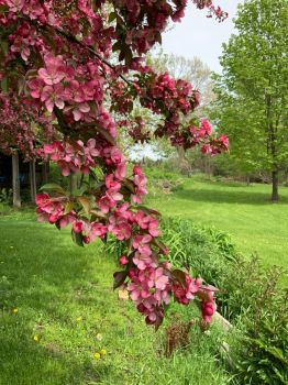 Our flowering crab tree