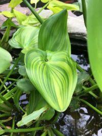 Pickerel Rush leaf