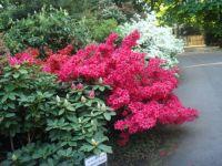 Azalea Walk in Hohenheim Exotischer Garten