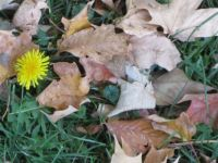 One confused dandelion, Oct. in MN.