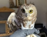 Saw-whet male Owl