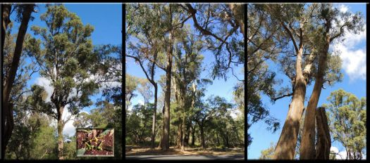 Tuart Trees From The Rarest Forest In The World... Western Australia....