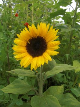 Sun Flower at Lavender Festival in Sequim