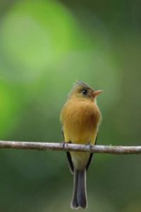 Tufted Flycatcher, Costa Rica by Greg Lavaty