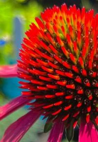 a closeup of a purple coneflower, just because it's pretty.