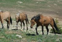 PRYOR MOUNTAIN HORSES  FATHER SON DISCUSSION