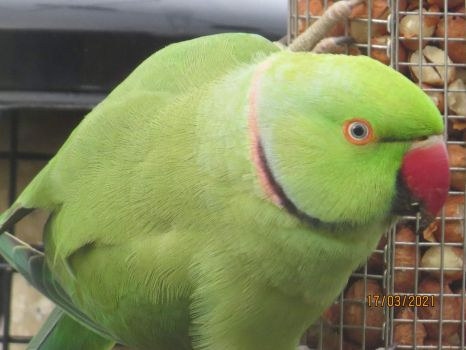 The male Rose Ringed Parakeet kept his eye on me.
