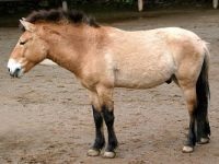 przewalskis-horse_img01-l
